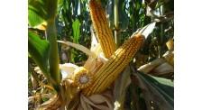 中早熟玉米品种米质好,产量高
