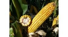 吉林高产稳产抗性高中晚熟玉米品种产量超335