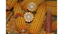 东华北春玉米中晚熟玉米品种东北玉米品种生产