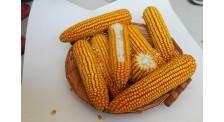 白轴高产吉林早熟玉米品种生产
