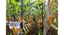 德美亚一号熟期极早熟玉米新品种批发