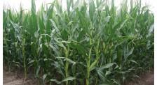 吉农大6号(吉审玉2015008),早熟玉米新品种,吉林玉米品种