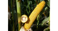 中晚熟玉米品种高产稳产抗性好