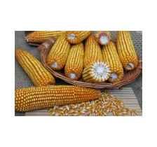 吉林玉米种子,高产稳产米质好,产量高批发