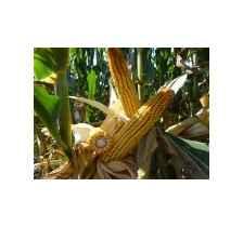 吉农大5号(吉审玉2014005),中早熟玉米品种