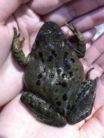 活林蛙销售商